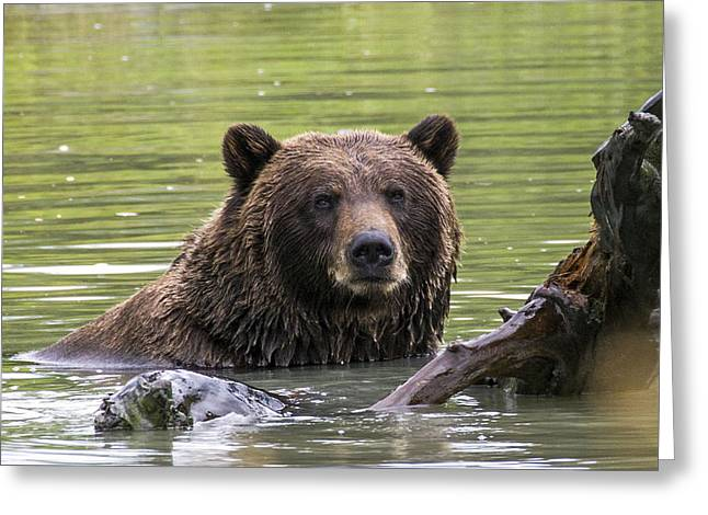 Swimming Grizzly Greeting Card