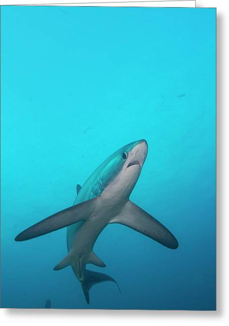 Swimming Thresher Shark Greeting Card