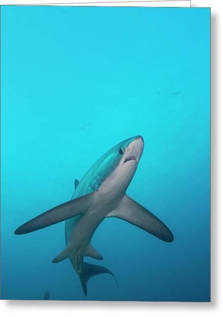 Swimming Thresher Shark Greeting Card