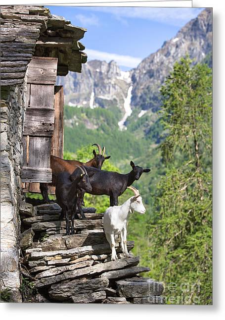 Swiss Goats Greeting Card
