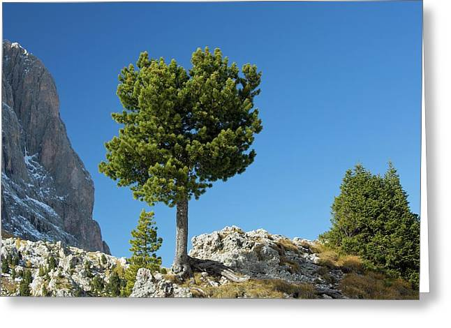 Swiss Pine (pinus Cembra) Greeting Card by Bob Gibbons