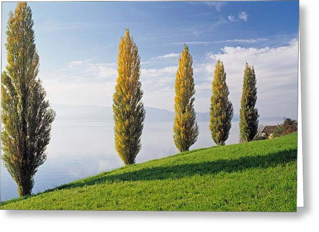 Switzerland, Lake Zug, Row Of Populus Greeting Card by Panoramic Images