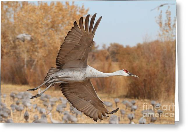 Swooping Sandhill  Greeting Card by Ruth Jolly