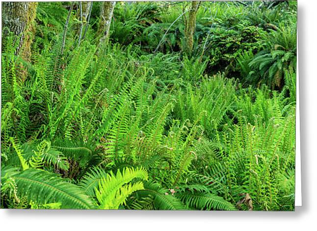 Sword Ferns In Temperate Rainforest Greeting Card