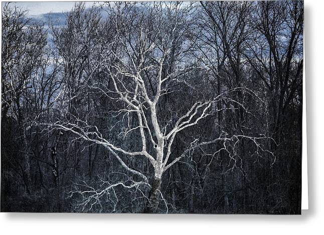 Sycamore Dreamer Greeting Card by Terry Rowe