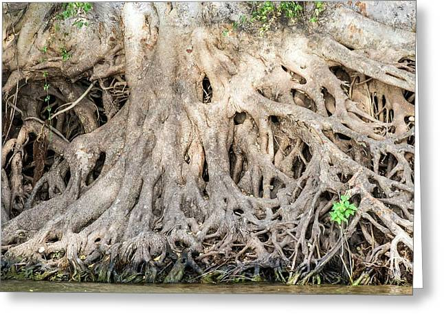 Sycamore Fig Tree Roots Binding The Soil Greeting Card