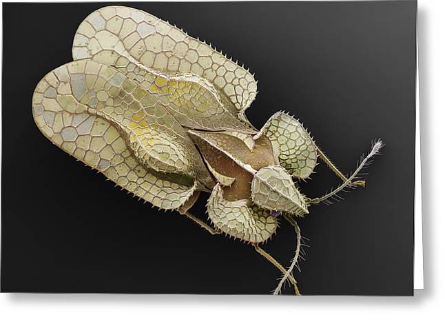 Sycamore Lace Bug Sem Greeting Card