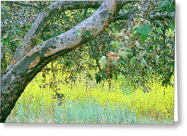 Sycamore Tree In Mustard Field, San Greeting Card by Panoramic Images