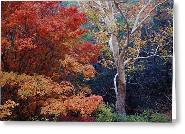 Sycamore Greeting Cards - Sycamore Trees And Bigtooth Maple Acer Greeting Card by Panoramic Images
