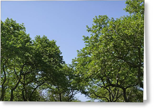 Sycamores In June Greeting Card