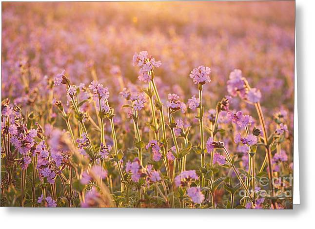 Symphony In Pink Greeting Card by Anne Gilbert