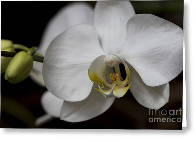 Symphony White Orchid Greeting Card