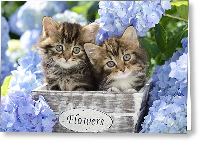 Tabbies Greeting Card