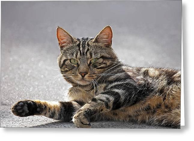 Tabby Cat Greeting Card