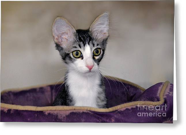 Tabby Kitten In A Purple Bed Greeting Card by Catherine Sherman