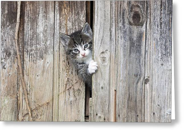 Tabby Kitten Peering From Shed Greeting Card by Duncan Usher