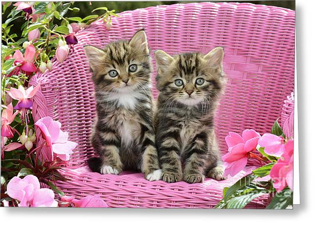 Tabby Kittens Greeting Card by Greg Cuddiford