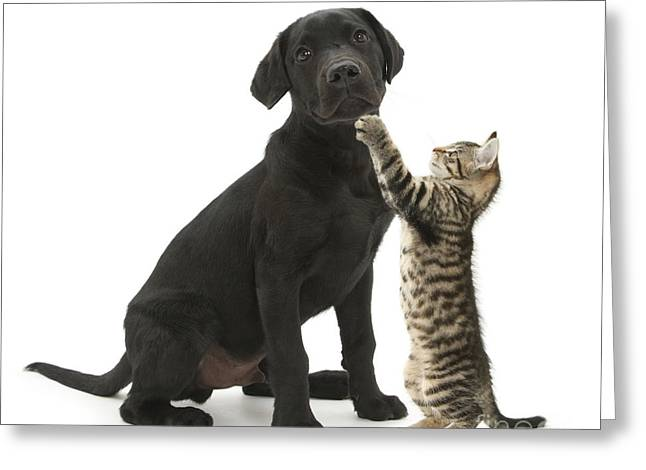 Tabby Male Kitten & Black Labrador Greeting Card by Mark Taylor