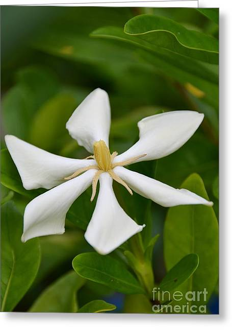 Greeting Card featuring the photograph Tahitian Gardenia by Darla Wood
