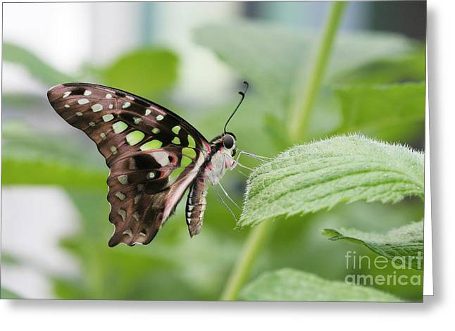 Tailed Jay Butterfly #3 Greeting Card