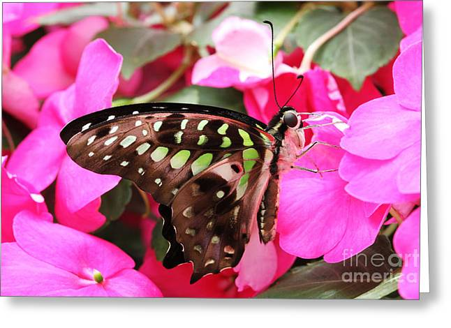Tailed Jay Butterfly #4 Greeting Card