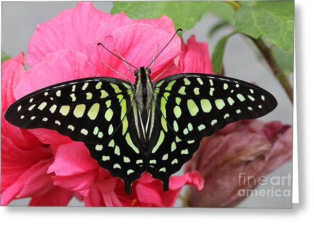 Greeting Card featuring the photograph Tailed Jay Butterfly #6 by Judy Whitton