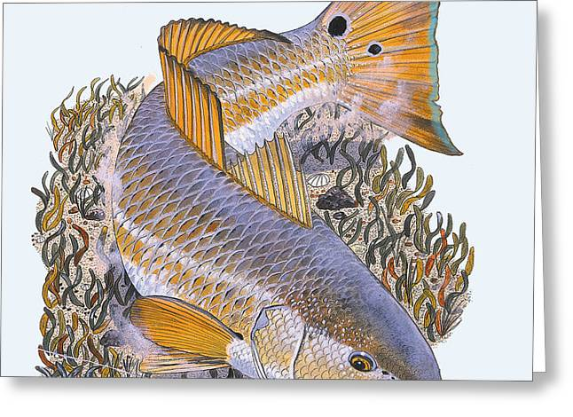 Tailing Redfish Greeting Card