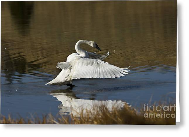 Take Off Greeting Card by Wildlife Fine Art