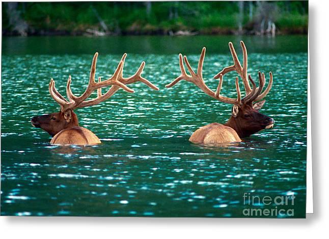 Talbot Lake Elk Greeting Card by Terry Elniski