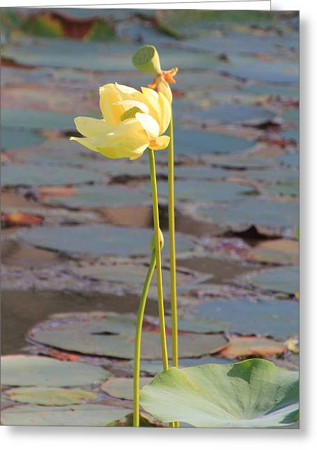 Tall And Golden Greeting Card by Rosalie Scanlon