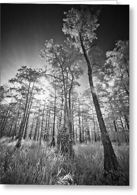 Tall Cypress Trees Greeting Card by Bradley R Youngberg