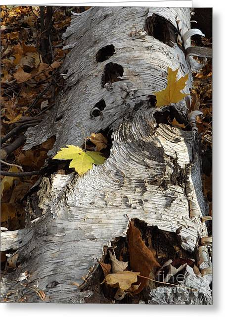 Tall Fallen Birch With Leaves Greeting Card