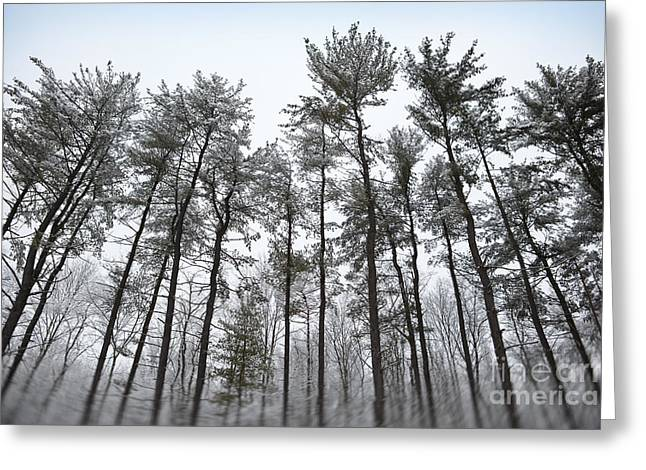 Tall Snow Covered Trees Greeting Card by Sharon Dominick