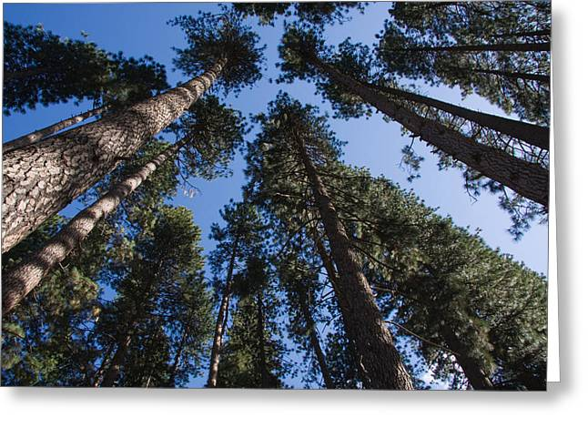 Talls Trees Yosemite National Park Greeting Card