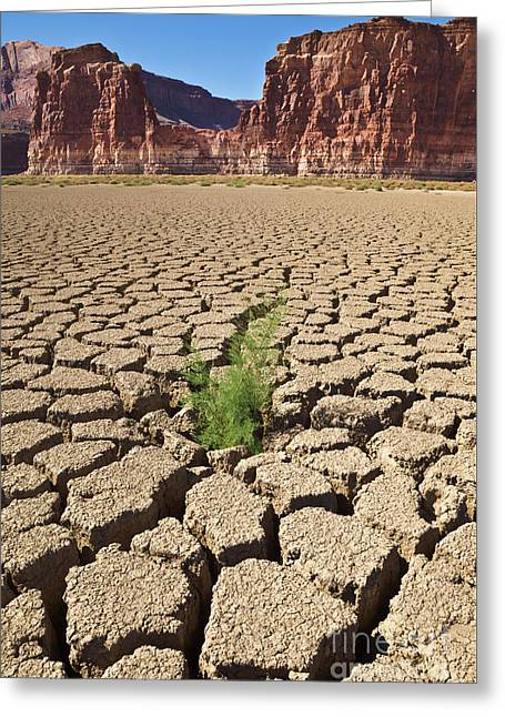 Tamarisk In Dry Colorado River Greeting Card
