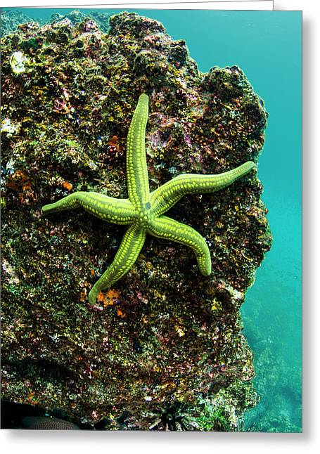 Tan Sea Star (phataria Unifascialis Greeting Card by Pete Oxford