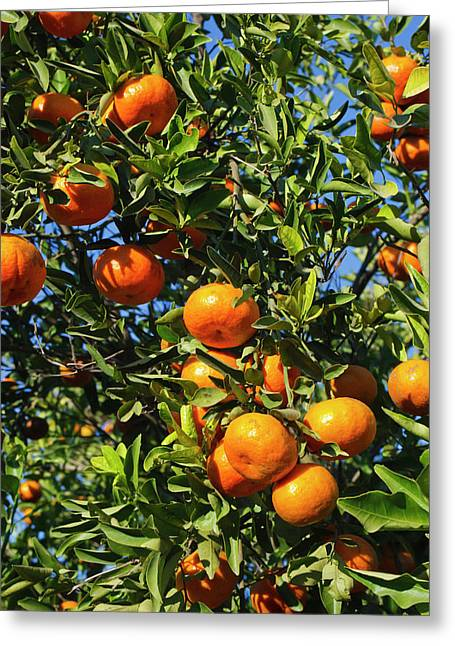 Tangerine Tree In Orange Grove Greeting Card by Larry Ditto