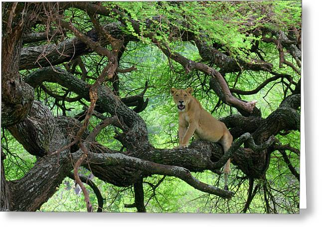 Tanzania African Lioness Rests On Tree Greeting Card