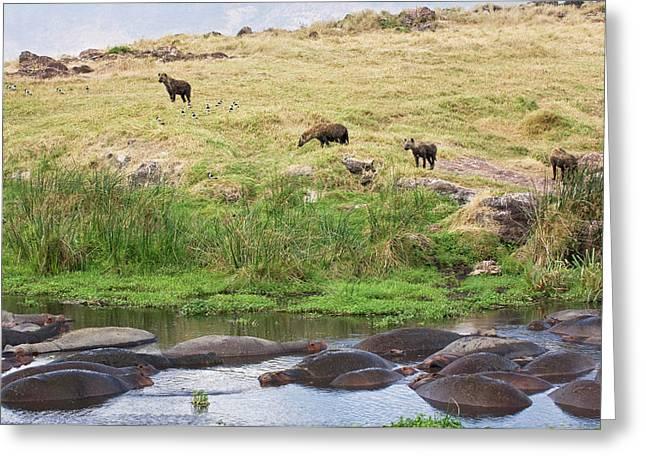 Tanzania, Ngorongoro Conservation Area Greeting Card
