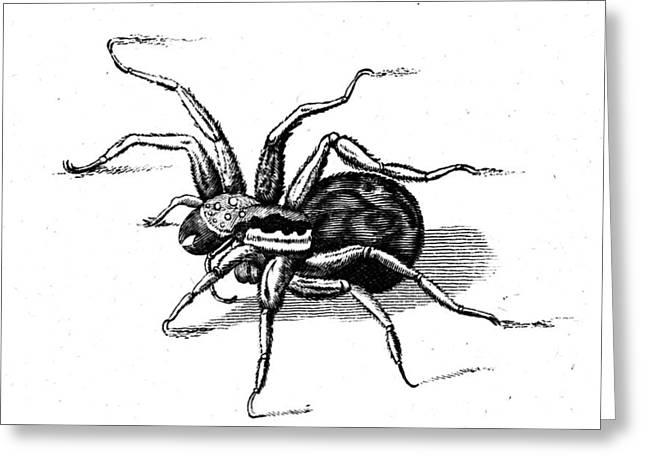 Tarantula, Historical Engraving Greeting Card by Wellcome Images