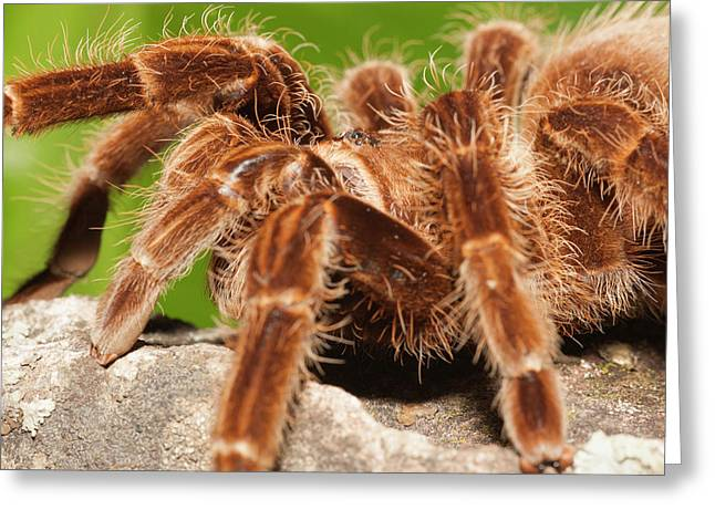 Tarantula On Rocks Greeting Card by Piperanne Worcester