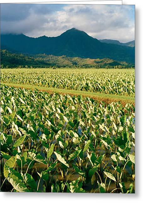 Taro Crop In A Field, Hanalei Valley Greeting Card by Panoramic Images