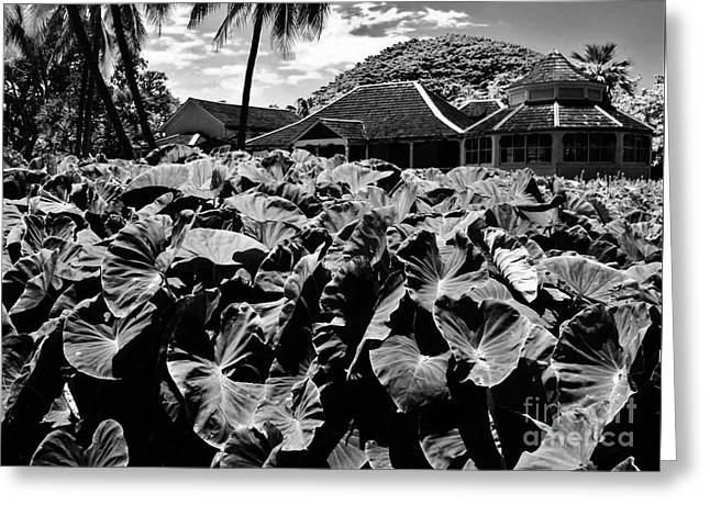 Taro Patch In Black And White Greeting Card