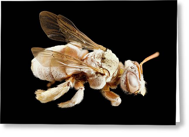 Tarsalia Bee Greeting Card by Us Geological Survey