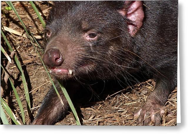 Tasmanian Devil Greeting Card by Margaret Saheed