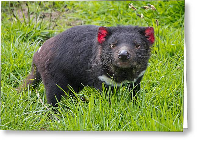 Tasmanian Devil Greeting Card by Phil Stone