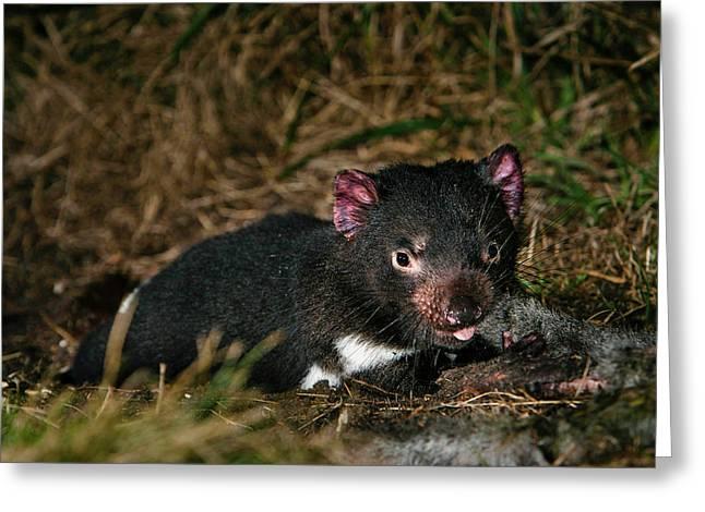 Tasmanian Devil (sarcophilus Harrisii Greeting Card