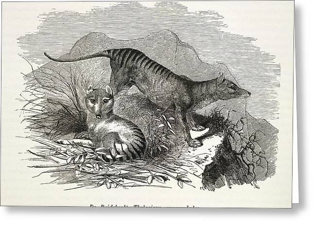 Tasmanian Wolf Greeting Card by British Library