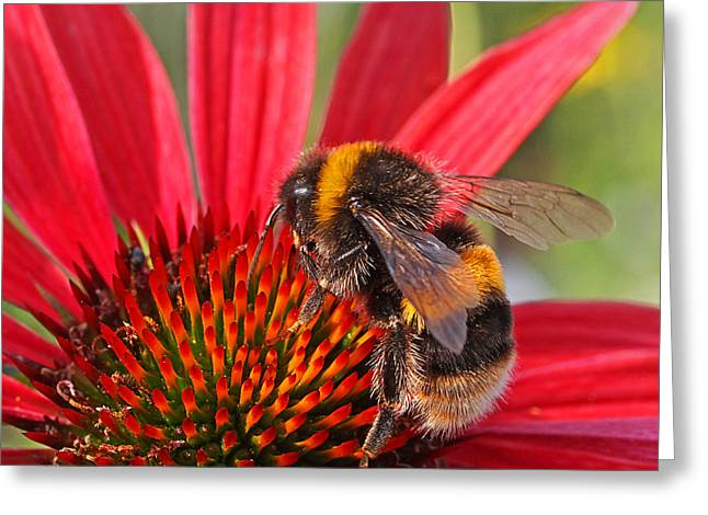 Taste Of Summer - Bee On Red Coneflower - Square Greeting Card