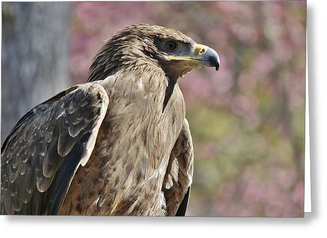 Tawny Eagle Amongst The Cherry Blossoms Greeting Card by Paulette Thomas